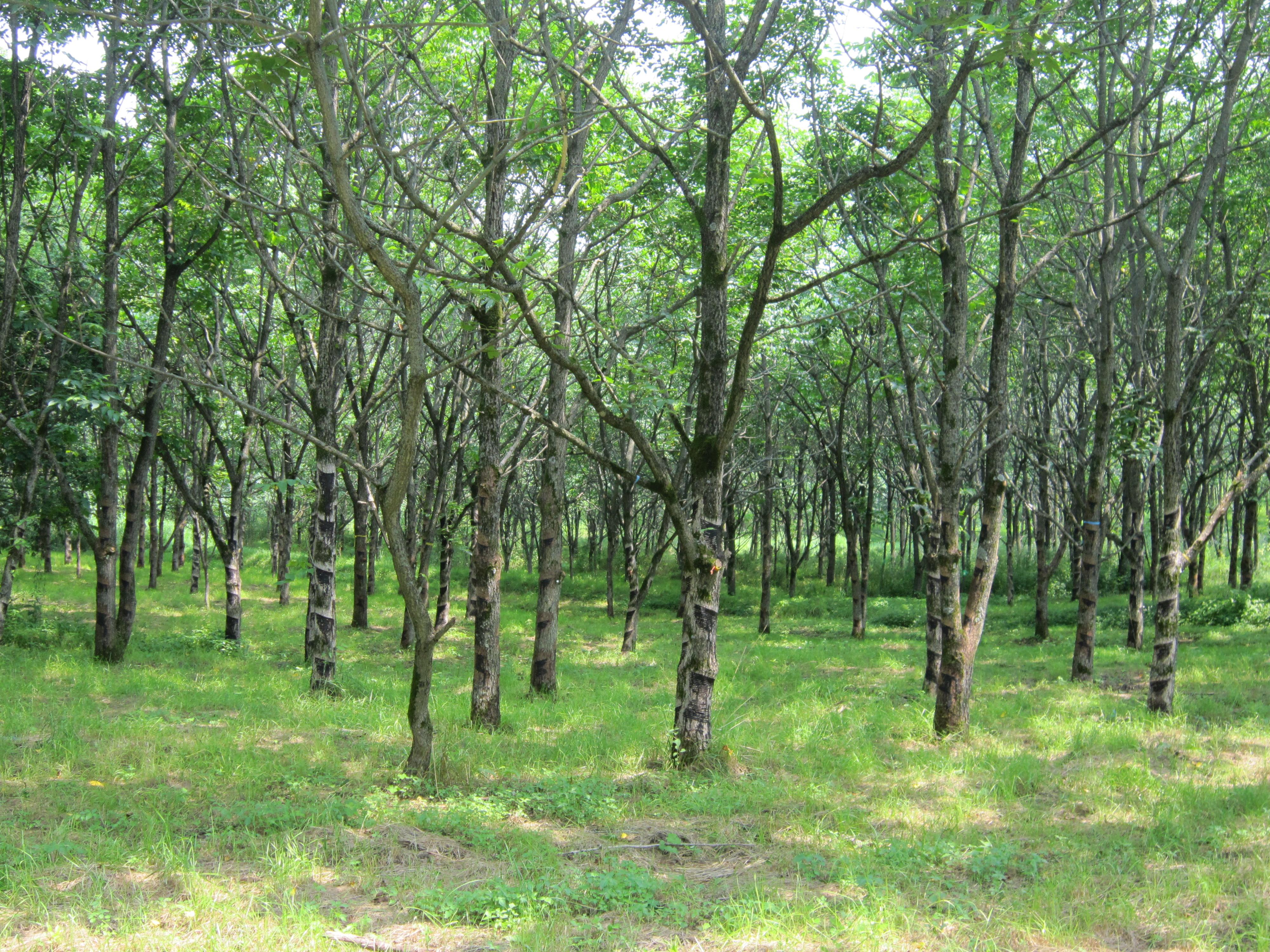 Urushi woods